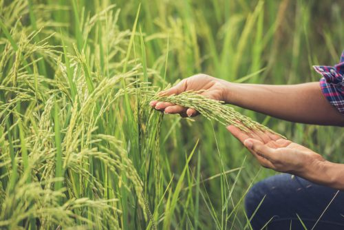 The Farmer Holds Rice In Hand.